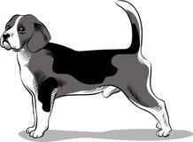 小猎犬狗品种 免版税库存照片
