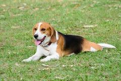 小猎犬狗坐草 库存照片