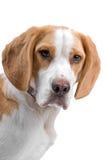 小猎犬狗头 免版税库存照片