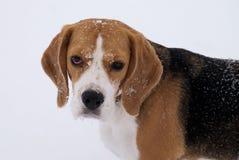 小猎犬狗室外画象在冬天 免版税库存照片