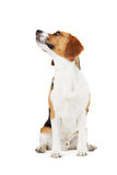 小猎犬狗演播室画象反对白色背景的 免版税库存图片