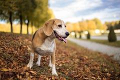 小猎犬狗的画象 免版税图库摄影