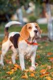 小猎犬狗的画象 免版税库存照片