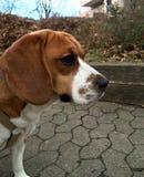 小猎犬狗的画象 免版税库存图片