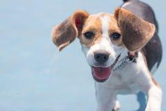 小猎犬狗获得乐趣在有一张兴高采烈的面孔的公园 库存图片