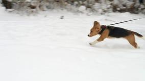 小猎犬狗跑与他的所有者在冬天公园 股票视频
