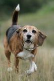 小猎犬狗运行中 免版税库存照片