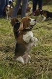 小猎犬狗,坐它的后腿 免版税图库摄影