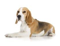 小猎犬狗 免版税库存照片