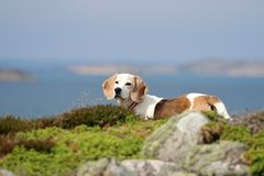 小猎犬生活在瑞典 库存图片