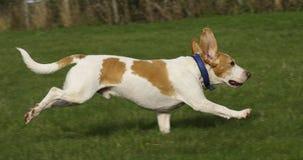 小猎犬自由运行中 免版税图库摄影