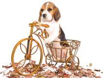 小猎犬自行车褐色小狗 免版税库存照片