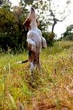 小猎犬请求 免版税库存图片