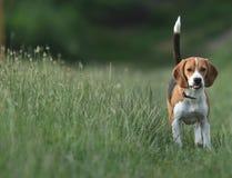 小猎犬高度上升的尾标 免版税库存照片