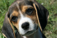 小猎犬黑色小狗棕褐色 免版税库存照片