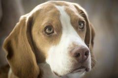 小猎犬画象 库存照片