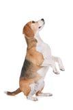 小猎犬 免版税库存图片