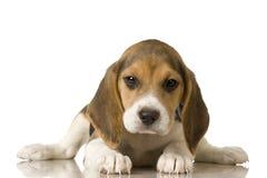 小猎犬 免版税图库摄影