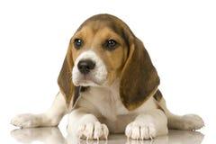 小猎犬 库存图片
