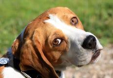 小猎犬 库存照片