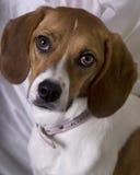 小猎犬 免版税库存照片