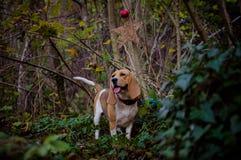 小猎犬en el树丛olfateando 库存照片
