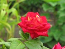 小猩红色玫瑰 免版税库存图片