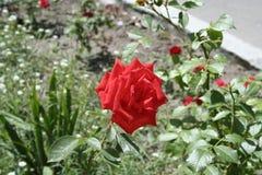 小猩红色玫瑰 免版税库存照片
