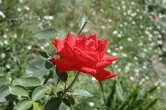 小猩红色玫瑰 库存照片