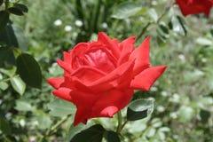 小猩红色玫瑰 库存图片