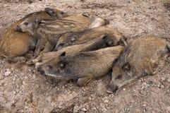 小猪休息 库存照片