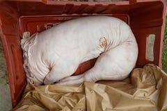 小猪准备好烤死的猪肉身体未加工残酷的格栅BBQ 免版税库存照片