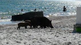 小猪和一个野公猪分娩在海岸与人 股票录像