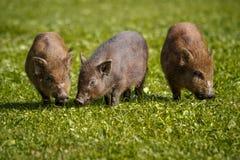 小猪哺养 库存图片
