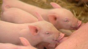 小猪喝从母猪的牛奶 免版税图库摄影