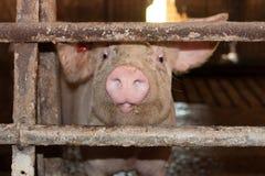 小猪在猪圈 免版税库存照片