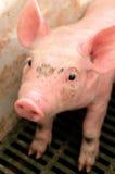 小猪在猪圈 图库摄影