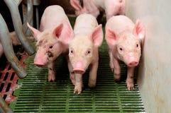 小猪在猪圈 免版税库存图片