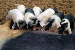 小猪母猪 库存图片
