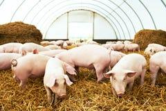 年轻小猪牧群在猪繁殖的农场的 库存图片