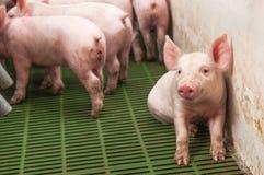 小猪猪圈 免版税库存图片