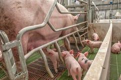 小猪猪圈 库存图片