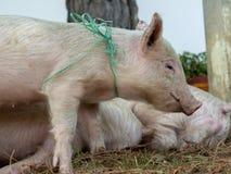 小猪的头像图片 免版税库存图片