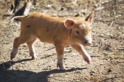 小猪走 库存图片