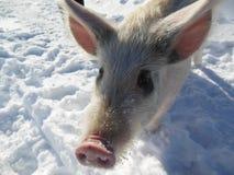 小猪 俄罗斯的本质和动物 免版税库存图片