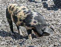 小猪4 图库摄影
