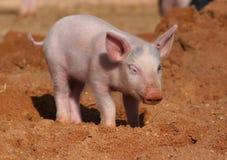 小猪 免版税库存图片