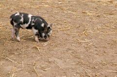 小猪 免版税库存照片