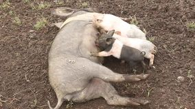 小猪 股票视频