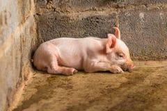 小猪 库存图片